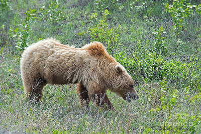 Photograph - Grizzly Grazes by David Arment