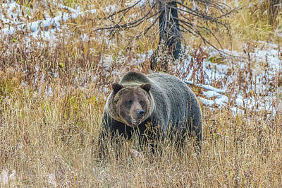 Photograph - Grizzly Happy In Fall by Yeates Photography