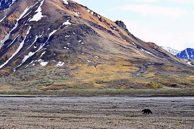 Photograph - Grizzly In Denali by KJ Swan