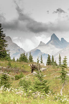 Photograph - Grizzly In Glacier  by Greg Wyatt