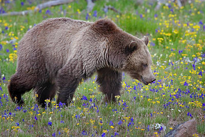 Photograph - Grizzly In Spring Flowers by Mark Miller