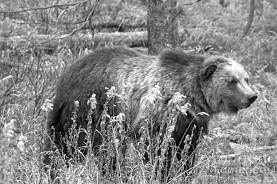Photograph - Grizzly In The Brush Black And White by Adam Jewell