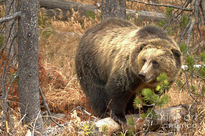 Photograph - Grizzly In The Teton Forest by Adam Jewell