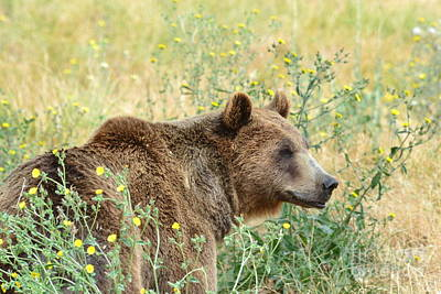 North American Wildlife Photograph - Grizzly by Laurianna Taylor