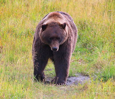 Photograph - Grizzly by Lennie Malvone