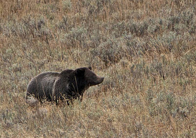 Photograph - Grizzly by Linda Shannon Morgan