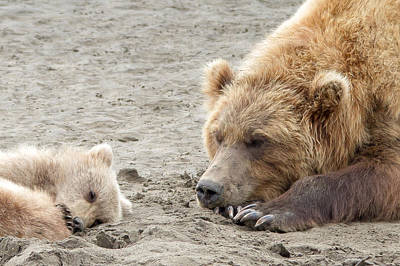 Photograph - Grizzly Mom And Cub by Phil Stone
