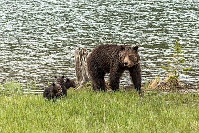 Art Print featuring the photograph Grizzly Mom And Cubs by Yeates Photography