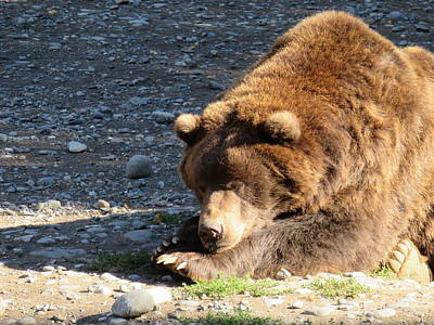 Photograph - Grizzly Napping by Lucinda VanVleck