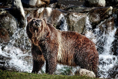 Photograph - Grizzly On Alert by Wes and Dotty Weber