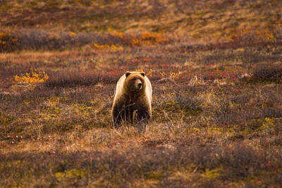 Photograph - Grizzly On The Prowl by Jeff Folger