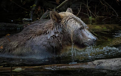 Photograph - Grizzly Passing Through by Randy Hall