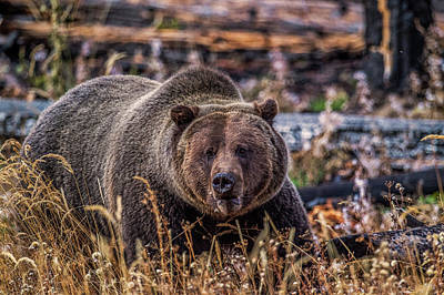 Photograph - Grizzly by Paul Freidlund