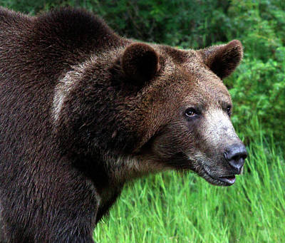 Photograph - Grizzly Portrait by Art Cole