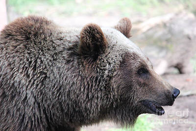 Photograph - Grizzly Profile by Wilko Van de Kamp