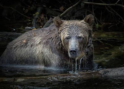 Photograph - Grizzly by Randy Hall