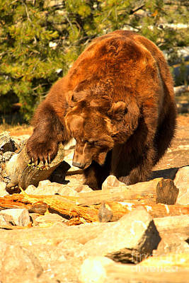 Grizzly Scavenging Art Print
