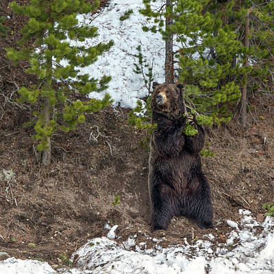 Photograph - Grizzly Shaking A Tree by Yeates Photography