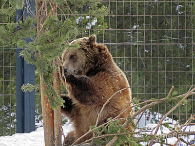 Photograph - Grizzly She Bear by Cindy Murphy - NightVisions