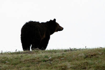 Photograph - Grizzly Silhouette by Steve Stuller