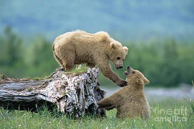 Photograph - Grizzly Sisters Playing by Yva Momatiuk John Eastcott
