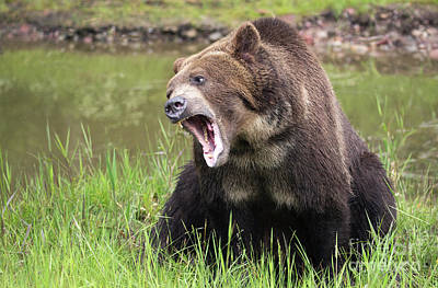 Photograph - Grizzly Snarl by Art Cole