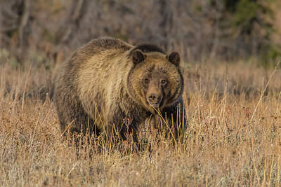 Photograph - Grizzly Sow #793 In Fall by Yeates Photography