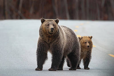 Photograph - Grizzly Sow And Cub In Road by Mark Miller