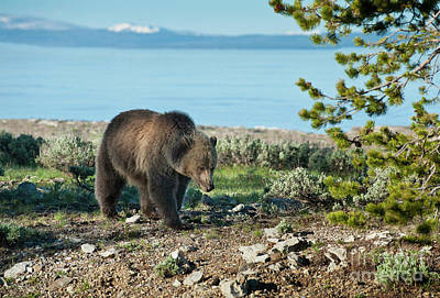Photograph - Grizzly Sow At Yellowstone Lake by Sandra Bronstein
