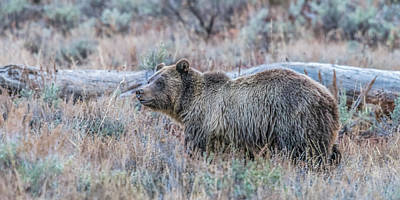 Photograph - Grizzly Sow Blondie by Yeates Photography