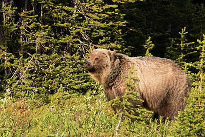 Photograph - Grizzly Sow by Celine Pollard