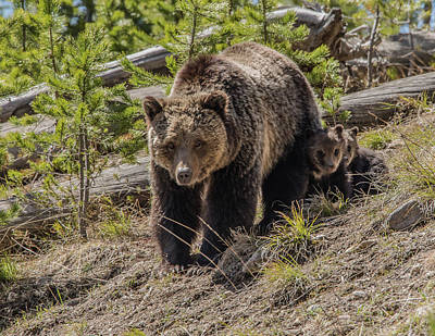 Photograph - Grizzly Sow Introducing Her Cubs by Yeates Photography