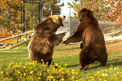 Photograph - Grizzly Stand-off by Adam Jewell
