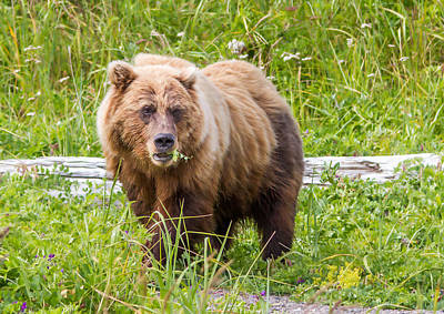 Photograph - Grizzly Staring Match by Phil Stone