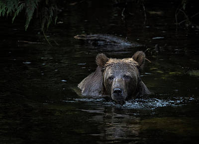 Photograph - Grizzly Swimmer by Randy Hall