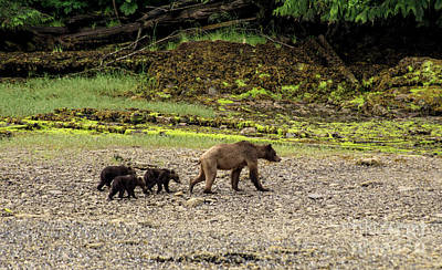 Photograph - Grizzly Triplets by Louise Magno