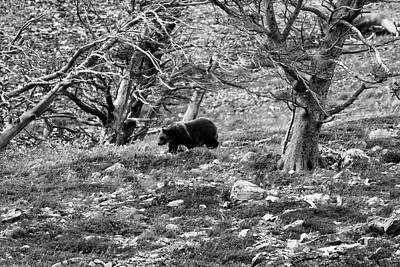 Photograph - Grizzly Walking Through Dead Trees - Black And White by Mark Kiver