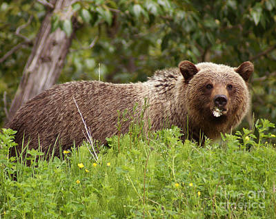 Photograph - Grizzly With A Dandelion by Stanza Widen