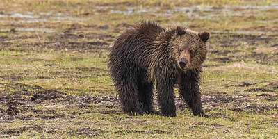 Photograph - Grizzly Yearling In Spring Mud by Yeates Photography
