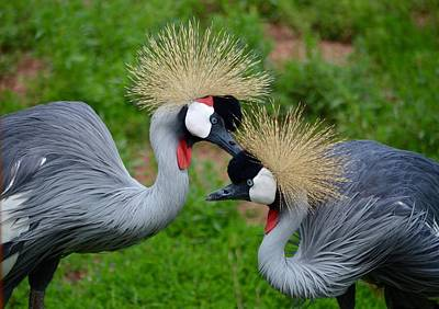 Photograph - Grooming East African Crown Crane Mates by Richard Bryce and Family