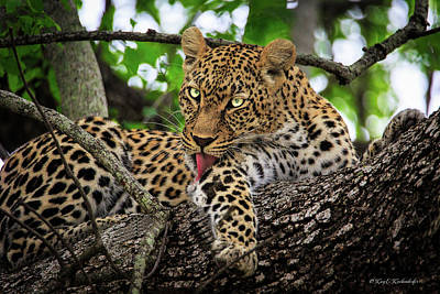 Photograph - Grooming Leopard by Kay Kochenderfer