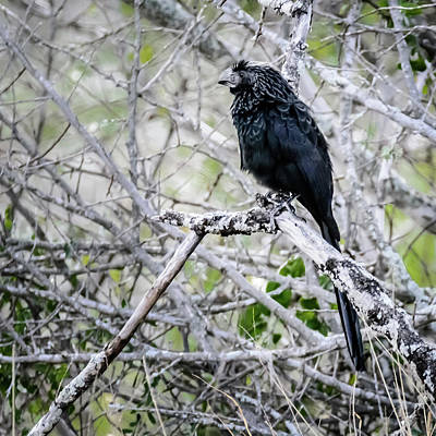 Photograph - Groove-billed Ani by Debra Martz