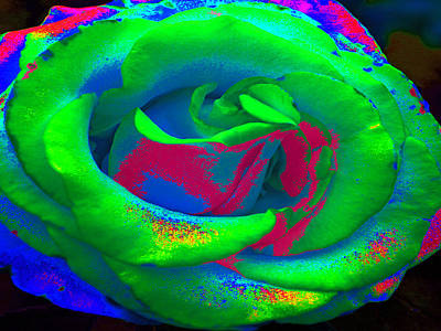 Painting - Groovin Rose by Kim