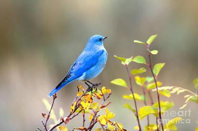 Photograph - Gros Ventre Bluebird by Adam Jewell
