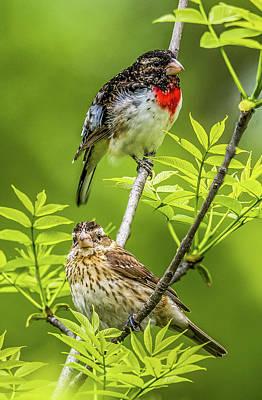 Photograph - Grosbeak Pair by Paul Freidlund