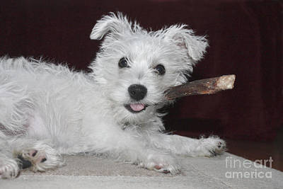Photograph - Groucho Puppy by Terri Waters