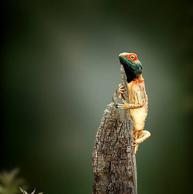 Reptiles Royalty-Free and Rights-Managed Images - Ground agama sunbathing by Johan Swanepoel