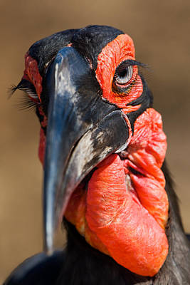Ground Hornbill Art Print by Basie Van Zyl