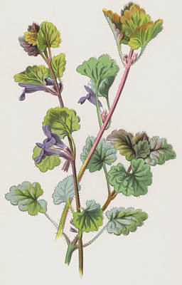 Ground Painting - Ground Ivy by Frederick Edward Hulme