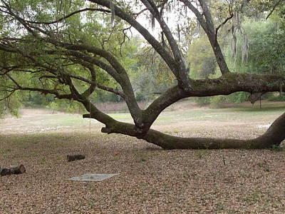 Ground Level Live Oak Original